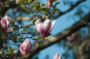 magnolia bark for sleep